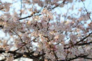 2013_03_20高知市升形の桜_EOS5DIII_0758.jpg