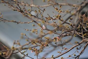 2013_03_11高知市升形の桜_EOS5DIII_0715.jpg